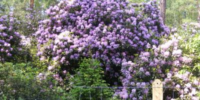 Rezerwat rododendronów